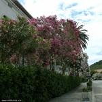 Blooming Oleander @ Hotel Korcula